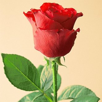 Розы голландские поштучно